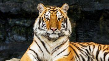 La storia delle tigri che hanno cambiato le proprie strisce
