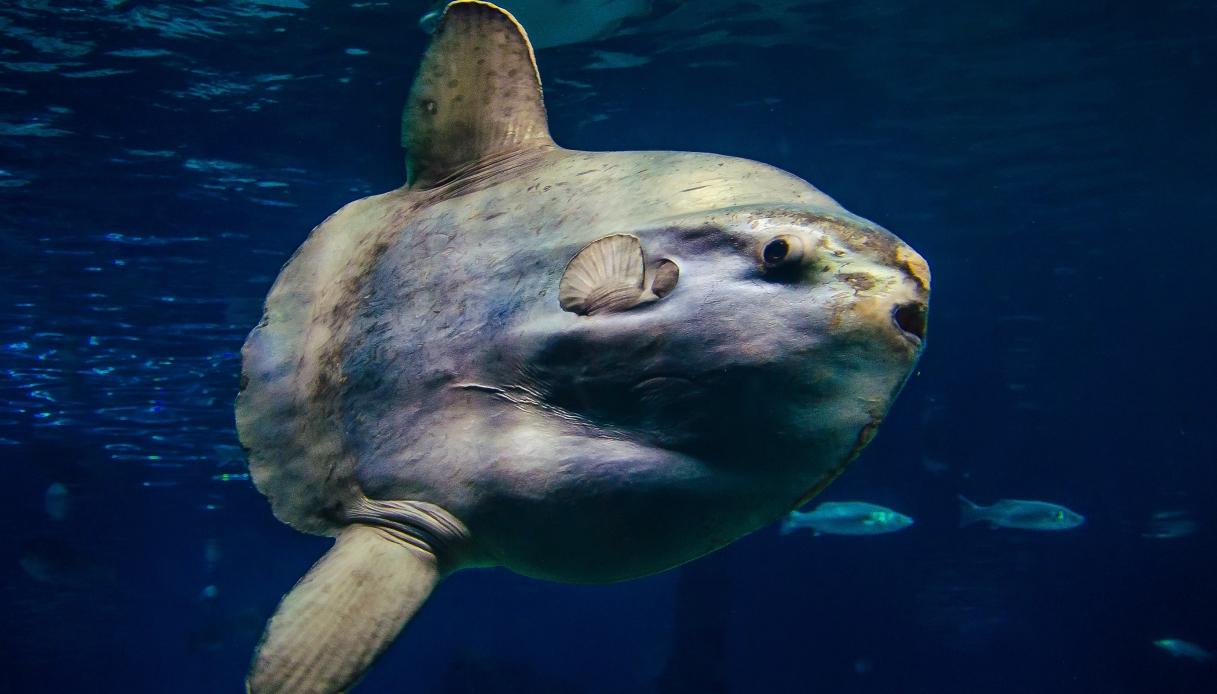 Il pesce luna da record catturato (e poi liberato) in Spagna