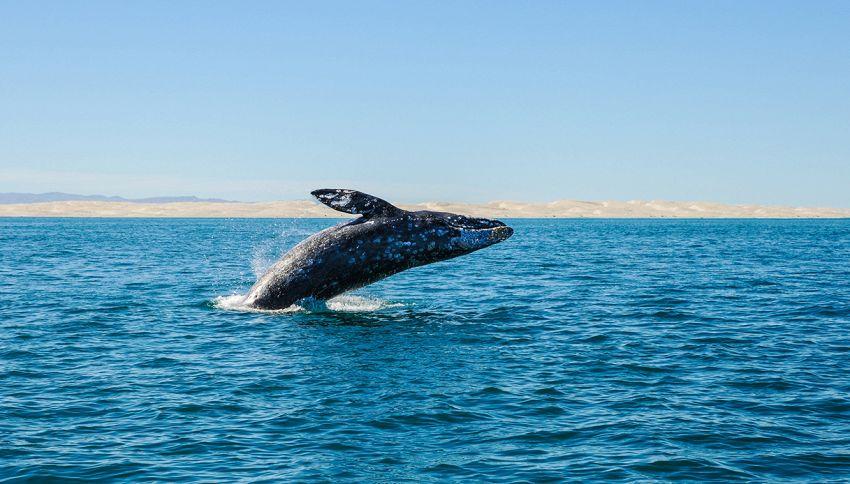 Balenottera azzurra con pene più grande del mondo: quanti metri è