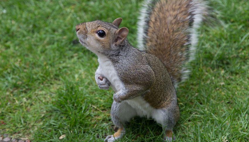 Perché l'Emilia Romagna è contraria allo scoiattolo grigio