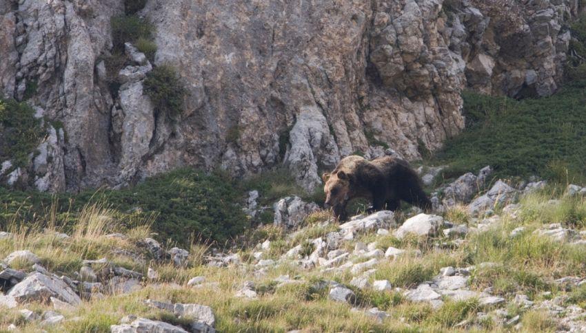 L'orso è tornato sui monti Sibillini dopo dieci anni