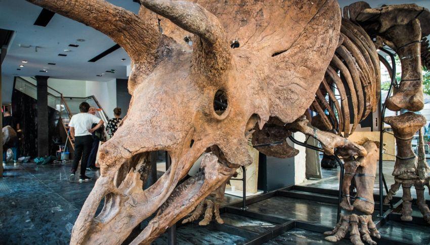 All'asta il più grande scheletro di Triceratopo: quanto costa