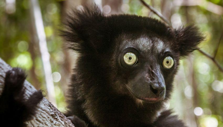 I lemuri cantano: la rivelazione in uno studio
