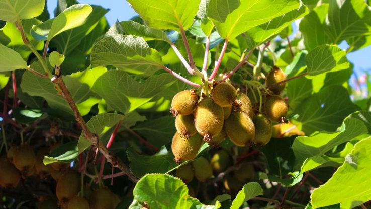 In Romagna la coltivazione del Kiwi diventa 4.0