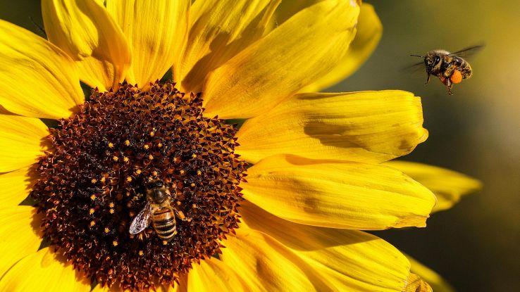 Robot impollinatore contro declino api