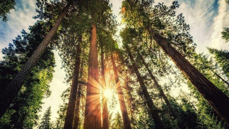 Sequoia che brucia