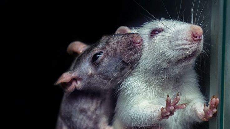 Gli scienziati hanno creato l'amicizia in laboratorio: con un impianto nella testa dei topi
