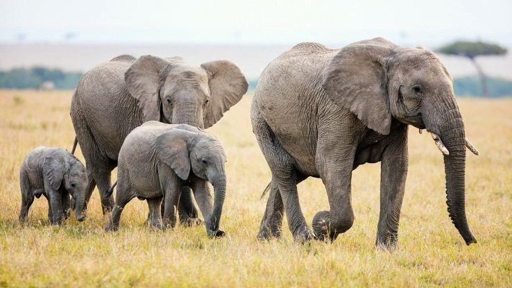 Il mistero della marcia più lunga di sempre mai osservata tra gli elefanti