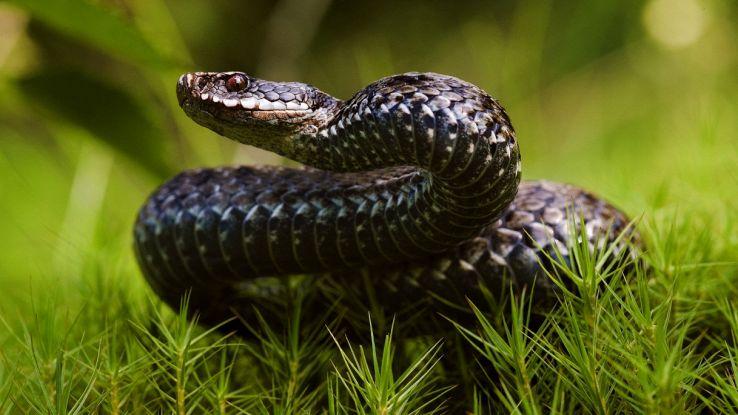 Il veleno di serpente che chiude le ferite