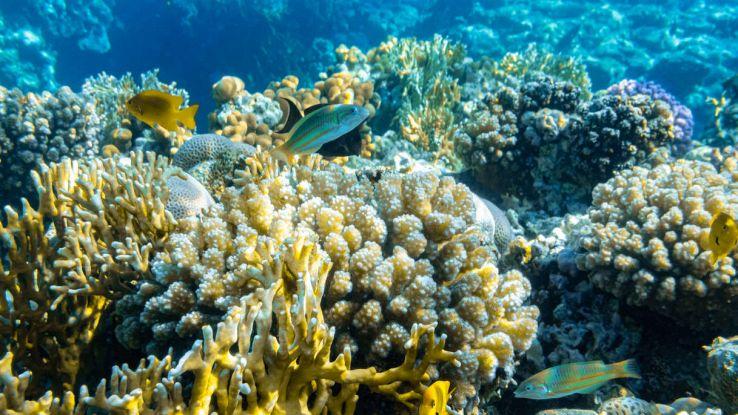 Il più grande corallo della Barriera Corallina