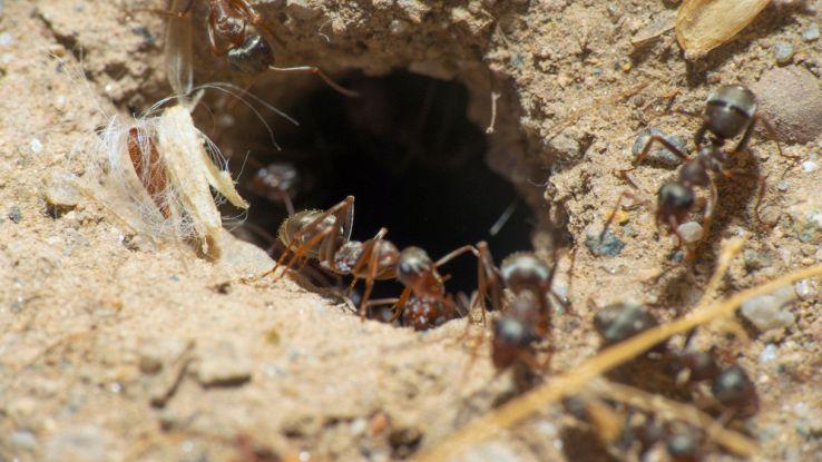 Le formiche conoscono la fisica e la usano per scavare i loro tunnel
