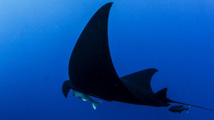 Avvistata una rara manta nera nella barriera corallina