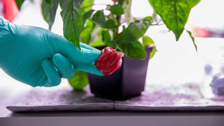 Piante di peperoncino nella stazione spaziale internazionale