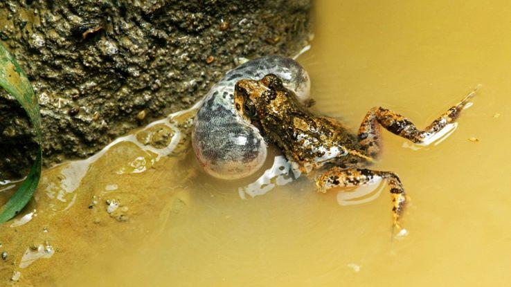 Nuovi prodotti per la pelle potrebbero provenire da schiuma rana