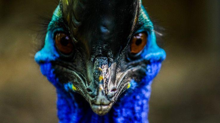 L'uccello più pericoloso al mondo addomesticato prima ancora del pollo