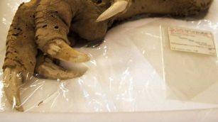 Trovato artiglio misterioso e antico: le ipotesi degli scienziati