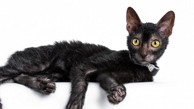 Il gatto lupo, il felino figlio di una mutazione genetica