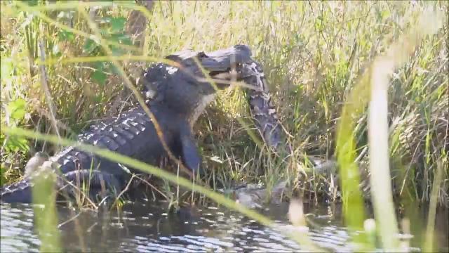 Duello da paura nella palude: alligatore sfida un pitone gigante