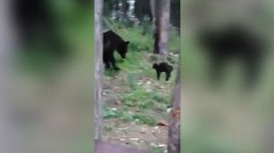 Il gatto sfida l'orso: l'esito del duello è imprevedibile