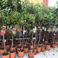 agrimarket piante da fusto