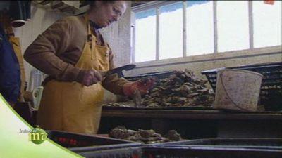 La lavorazione delle ostriche dopo la raccolta