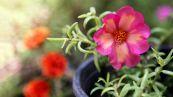 Portulaca, la pianta benefica che sembra un'erbaccia