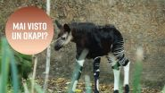 Lo zoo di Los Angeles salva l'okapi