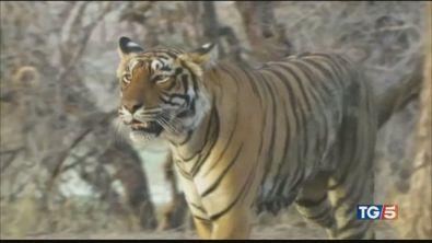 Salvare le tigri