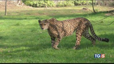 Per salvare i ghepardi ora rischiano la vita