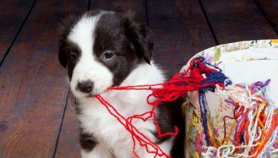 Una lana di cachemire pregiata fatta col pelo dei cani