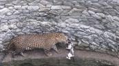Il micino affronta il leopardo e accade l'imprevedibile