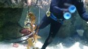 Polpo gigante intrappola il sub: l'incredibile scena nell'acquario