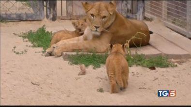 Oggi è la Giornata Mondiale del leone