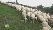 Un allevamento di pecore