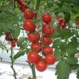 Il Mattone produzione pomodori