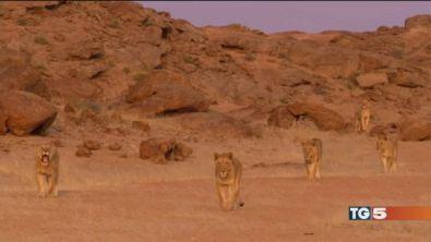 Sos leoni
