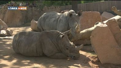 I rinoceronti si ambientano