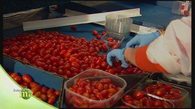 Il pomodoro datterino, lavorazione e coltivazione