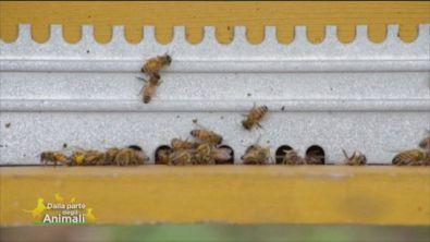 Le api rischiano l'estinzione