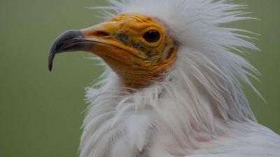 Avvoltoio egiziano ricompare dopo 150 anni: l'avvistamento