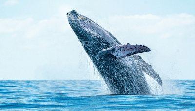Usa, uomo viene inghiottito da una balena al largo del Massachusetts