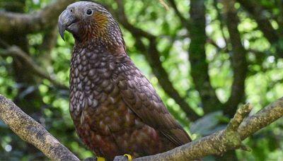 Kaka, l'uccello in via d'estinzione salvato in Nuova Zelandia
