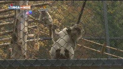 Scimmie libere