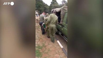 La cattura di un leone fuggito dal parco nazionale di Nairobi