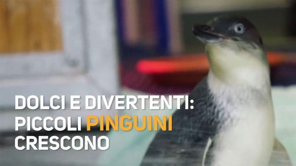 Due piccoli pinguini in piscina