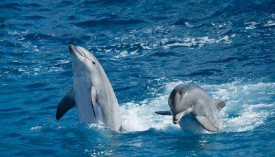 Delfini vedono nuotatore: quello che succede è incredibile