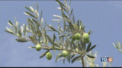 Produzione delle olive in forte calo