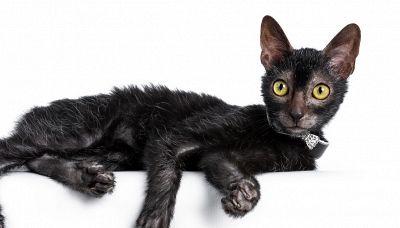 Il gatto lupo: una nuova razza creata da una mutazione genetica