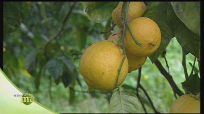 Le proprietà dell'olio essenziale di bergamotto