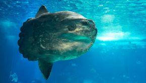 Pescano un pesce luna grande quanto un uomo: è un esemplare raro